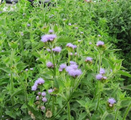 Cách chữa bệnh viêm xoang bằng bài thuốc dân gian từ cây hoa ngũ sắc